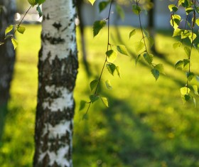Spring birch HD picture 01