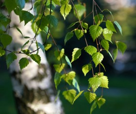 Spring birch HD picture 02