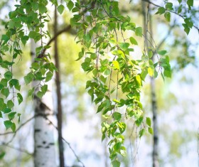 Spring birch HD picture 03