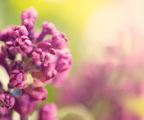 Spring blooming lilac flowers Stock Photo 01