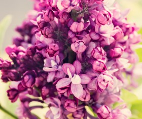 Spring blooming lilac flowers Stock Photo 02
