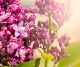 Spring blooming lilac flowers Stock Photo 03