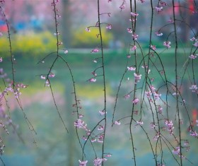 Spring cherry blossoms HD picture
