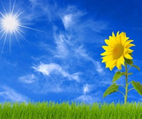 Sunny sunflowers Stock Photo