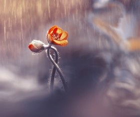 The blooming buds in the rain HD picture