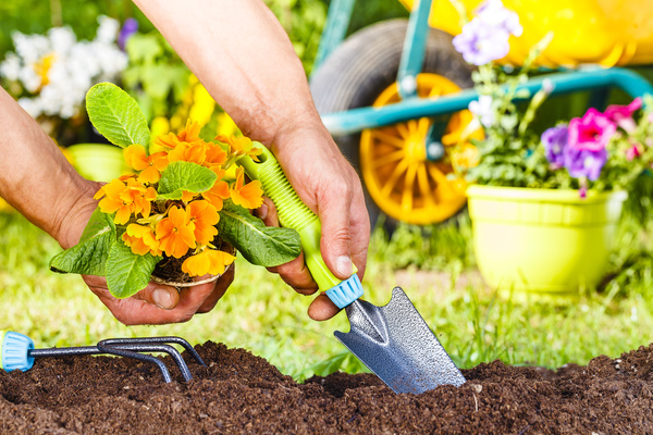 With a shovel digging planting yellow flowers Stock Photo