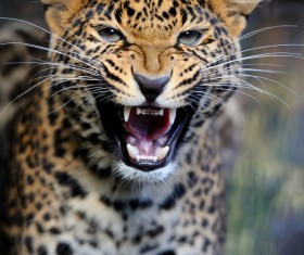 Angry leopard Stock Photo 01