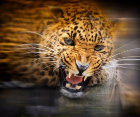 Angry leopard Stock Photo 02
