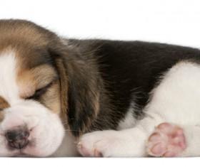 Beagle sleeping Stock Photo