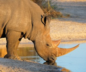 Drinking water in the rhinoceros HD picture