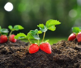 Excellent growing strawberries state Stock Photo