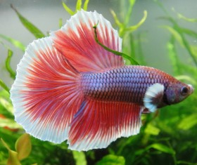 Half red betta Stock Photo
