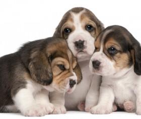 Lovely three beagle Stock Photo