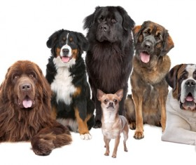Mini dogs with large dogs Stock Photo