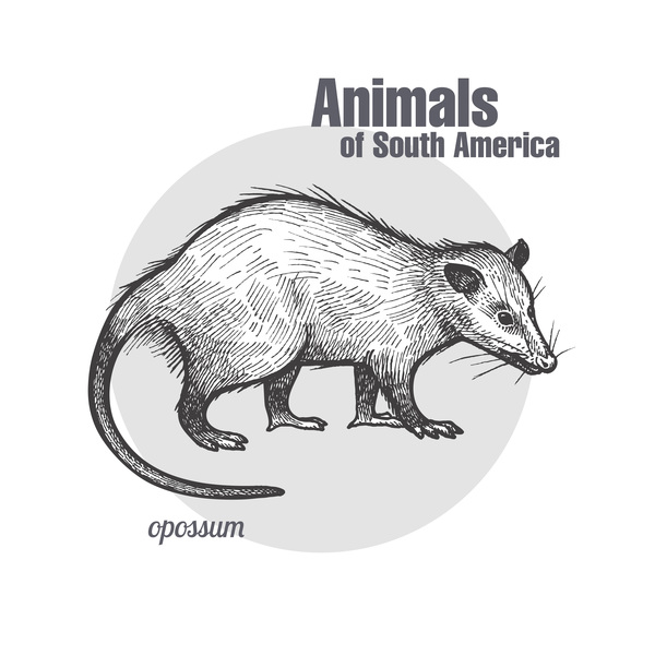 Opossum hand drawing sketch vector