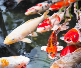 Ornamental koi fish Stock Photo 01