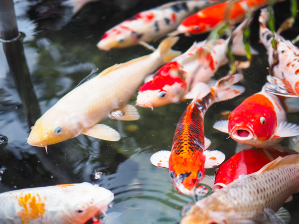 Ornamental koi fish stock photo 01 animal stock photo for Golden ornamental pond fish crossword