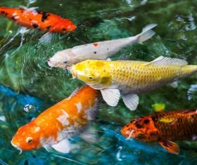 Ornamental koi fish Stock Photo 02