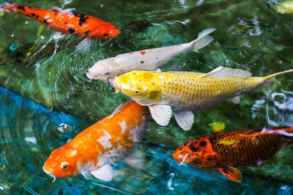 Ornamental koi fish stock photo 02 free download for Ornamental koi