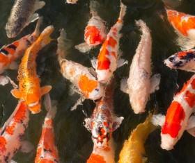 Ornamental koi fish Stock Photo 03