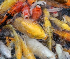Ornamental koi fish Stock Photo 04