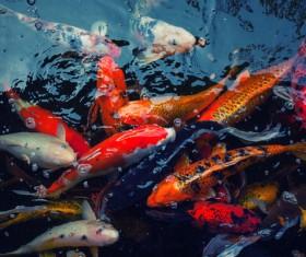 Ornamental koi fish Stock Photo 05