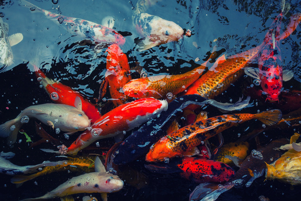 Ornamental koi fish stock photo 05 animal stock photo for Golden ornamental pond fish crossword