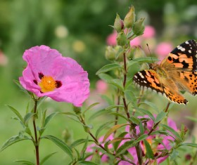 Pink flower with butterfly HD picture