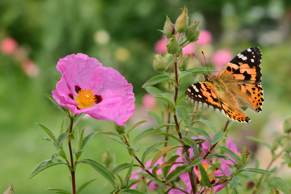 Merveilleux Pink Flower With Butterfly HD Picture