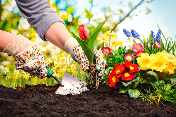 Planting tulips HD picture