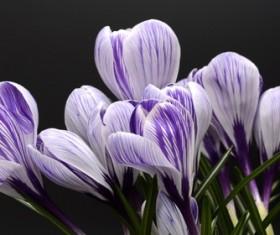 Purple white saffron close-up HD picture