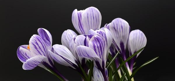 Purple white saffron close up HD picture