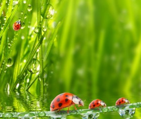 Seven star ladybugs and water on the grass Stock Photo