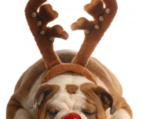 Shar-Pei decorated with antlers Stock Photo