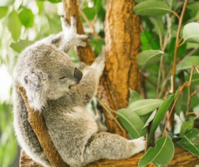 Sleeping on eucalyptus trees lazy Stock Photo 01