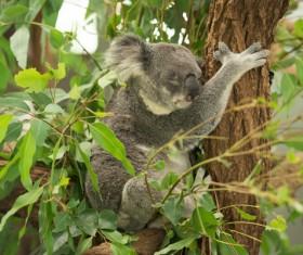Sleeping on eucalyptus trees lazy Stock Photo 02