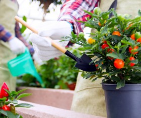 Take care of potted tomatoes Stock Photo