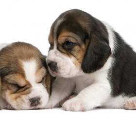 Two cute little spaniel Stock Photo 02