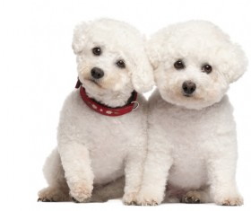 Two white cute puppies Stock Photo