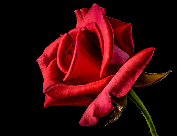 A red rose HD picture