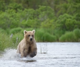 Bear catching fish Stock Photo