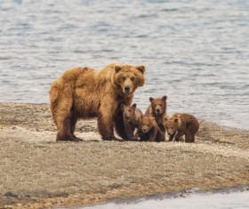 Bear mother with four bears Stock Photo