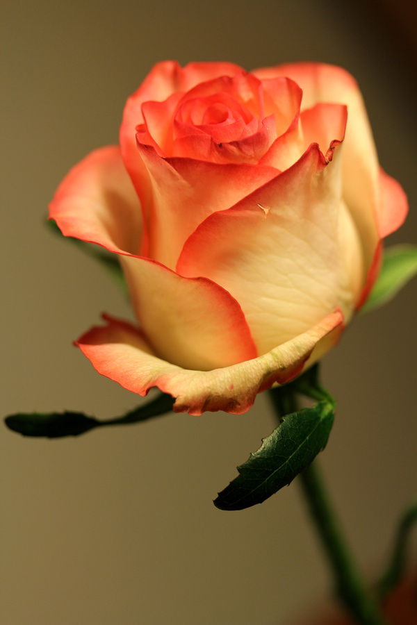 beautiful light yellow roses hd picture