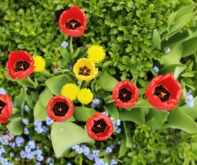 Blooming color tulips Stock Photo