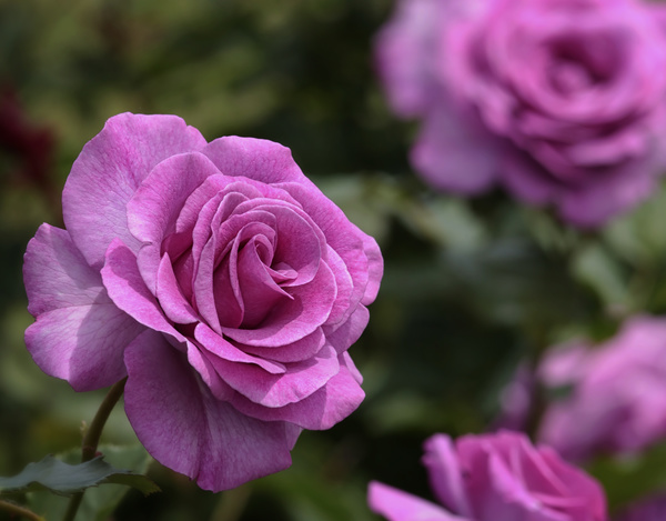Blooming Pink Roses HD Picture Free Download