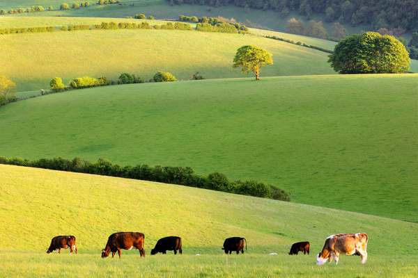 Cattle grazing in the meadow Stock Photo
