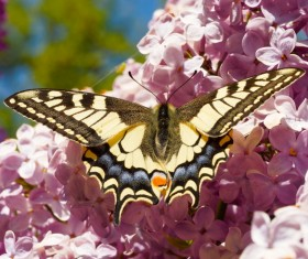 Color Swallowtail Butterfly HD picture