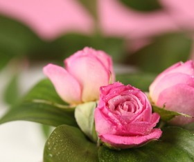Covered with dew roses HD picture