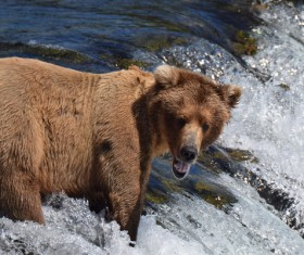 Fishing bear Stock Photo 02
