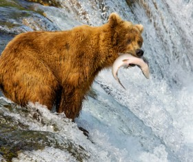 Fishing bear Stock Photo 03